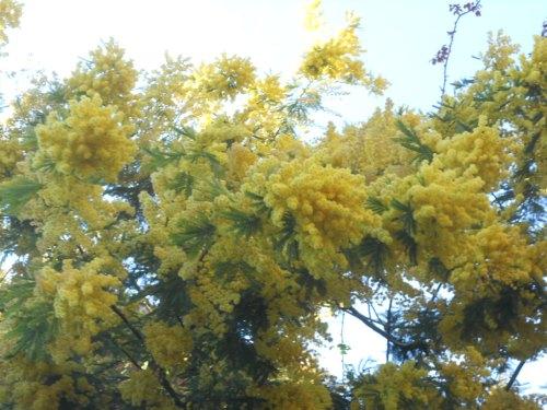 Mimosa sansabina