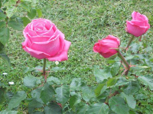 rosa fotografata a giugno 2014 al roseto comunale